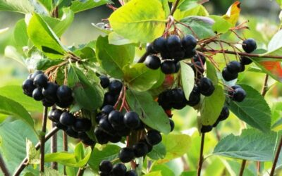 aronija biljka