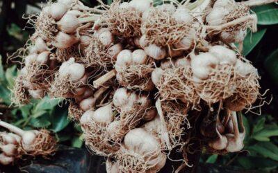 češnjak biljka