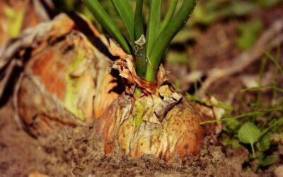 crveni luk biljka