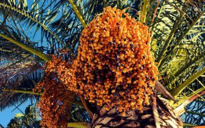 datulja biljka