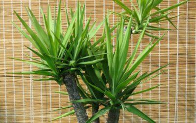 drvo života biljka