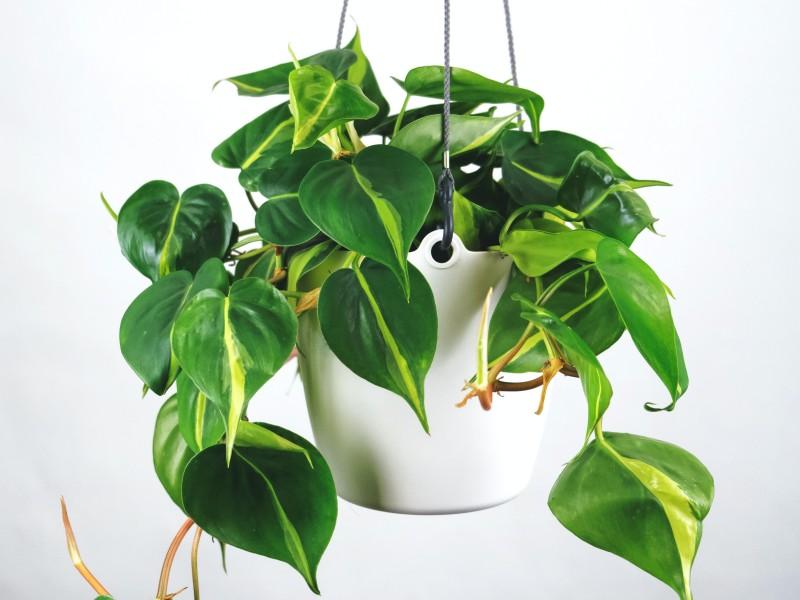 filodendron biljka