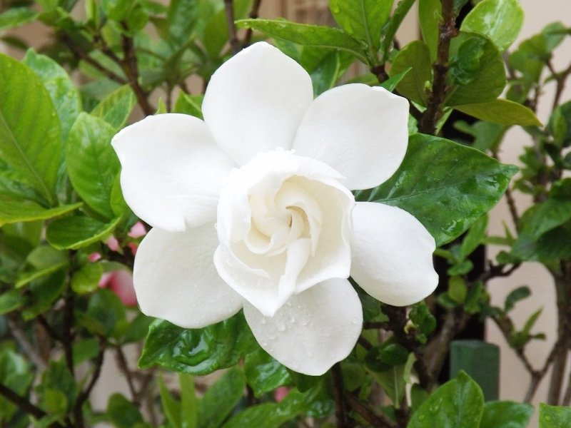 gardenija biljka