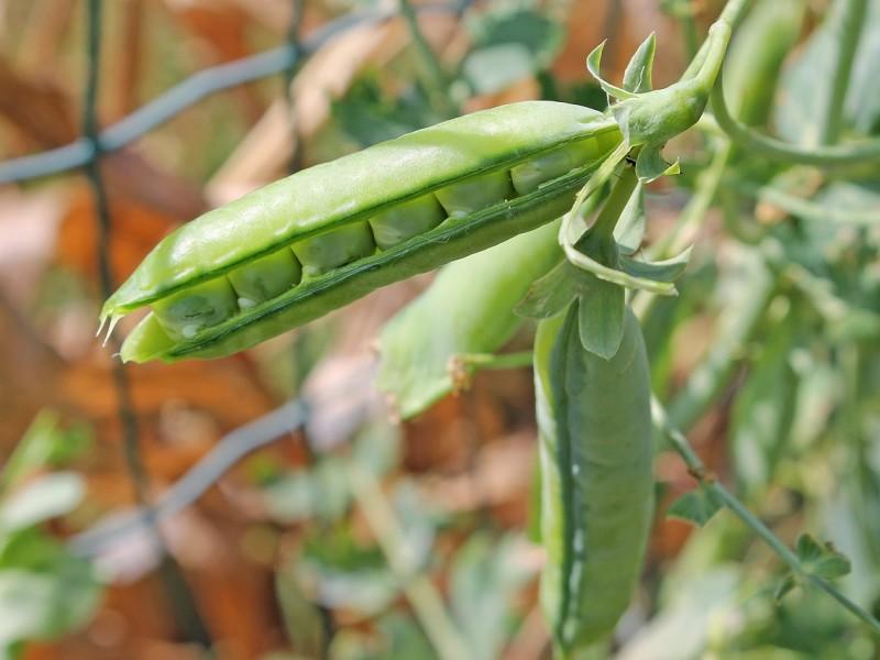 grašak biljka