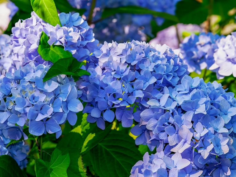 hortenzija biljka