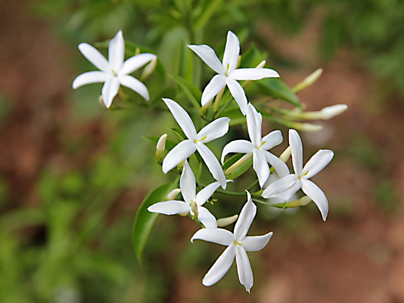 jasmin biljka