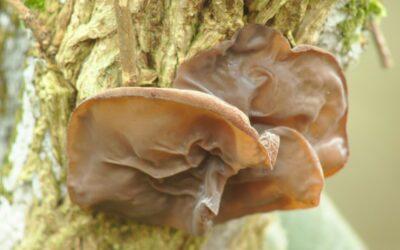 judino uho gljiva