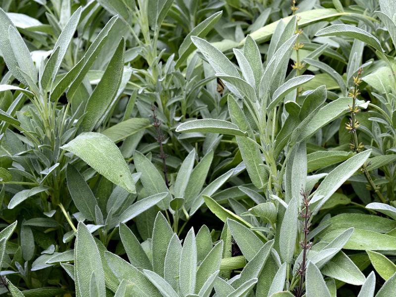 kadulja biljka