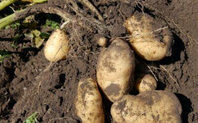 krumpir biljka