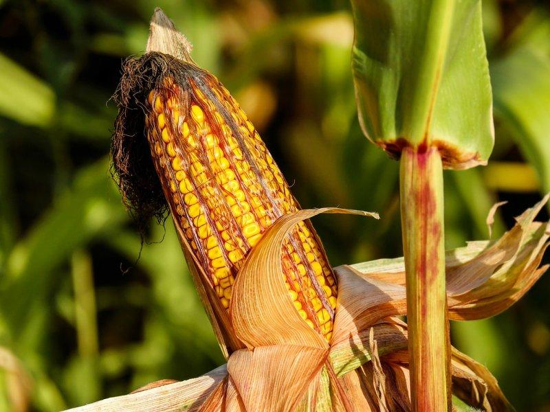 kukuruz biljka