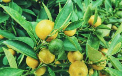 limun biljka