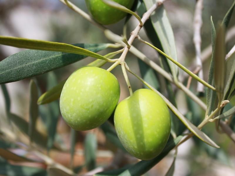 maslina biljka
