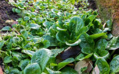 matovilac biljka