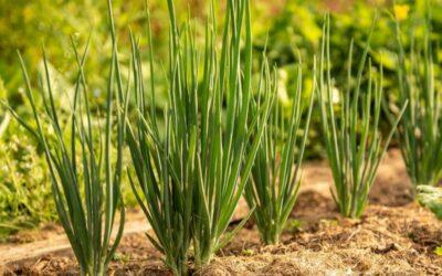 mladi luk biljka