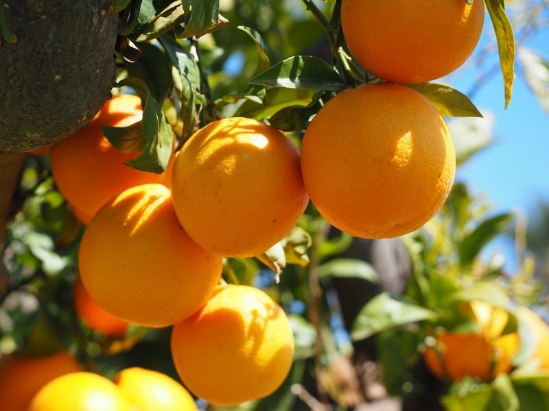 naranča biljka