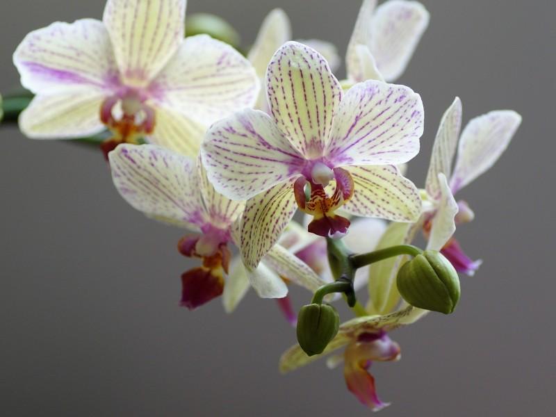 orhideja biljka