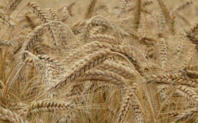 pšenica biljka