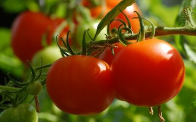 rajčica biljka