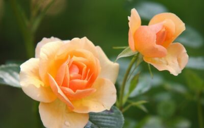 ruža biljka