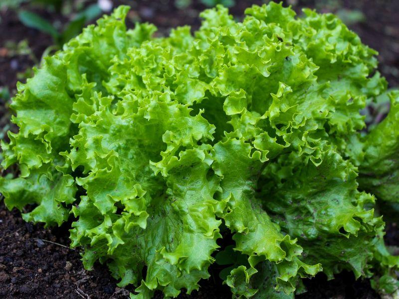 salata biljka