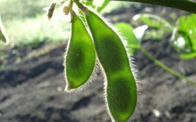 soja biljka