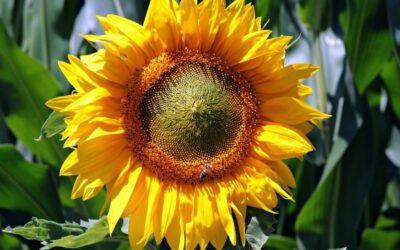 suncokret biljka