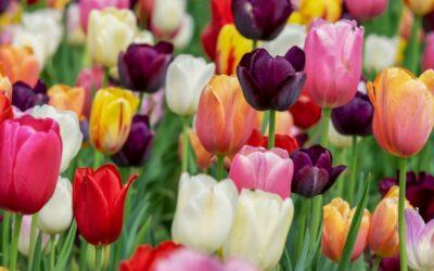 tulipan biljka