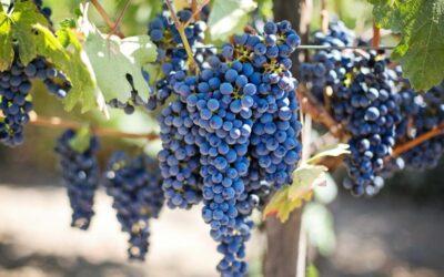 vinova loza biljka