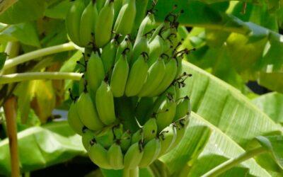 banana biljka