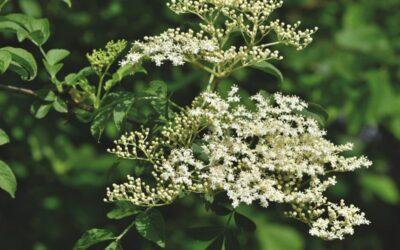 bazga biljka