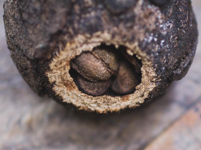 brazilski orah biljka