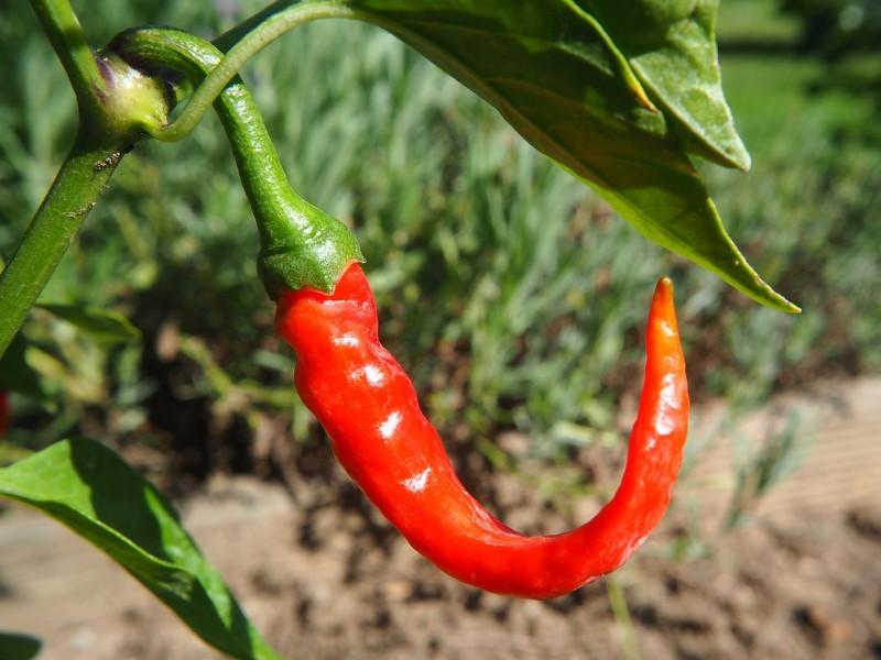 čili paprika biljka