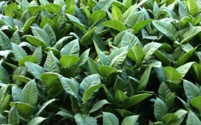 duhan biljka