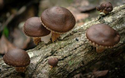 šitake gljiva