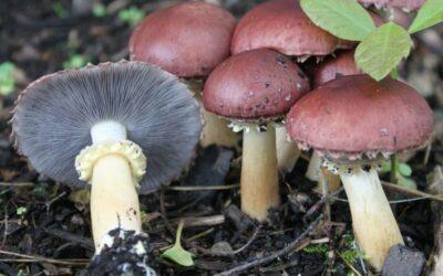 slamnatica gljiva