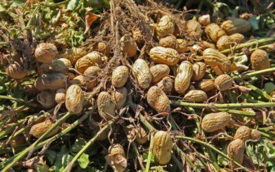 kikiriki biljka