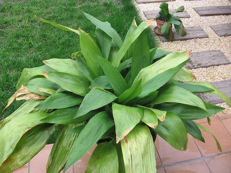aspidistra biljka