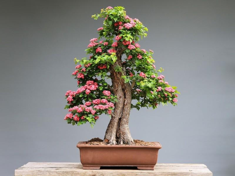 bonsai biljka