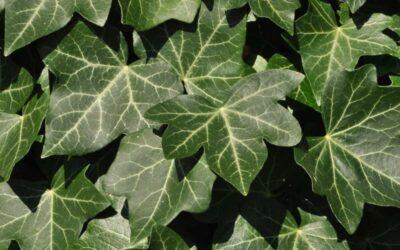 bršljan biljka