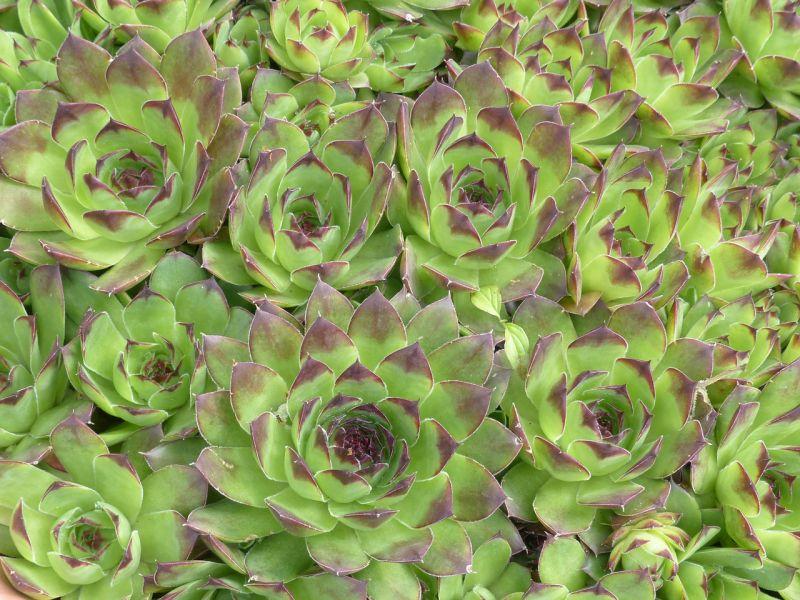 čuvarkuća biljka