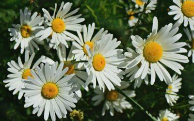 ivančica biljka