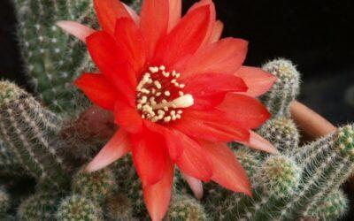 kikiriki kaktus