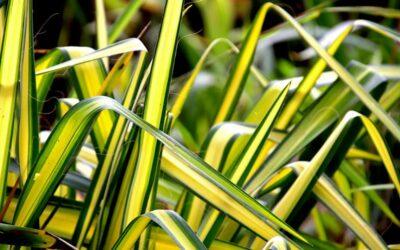 klorofitum biljka