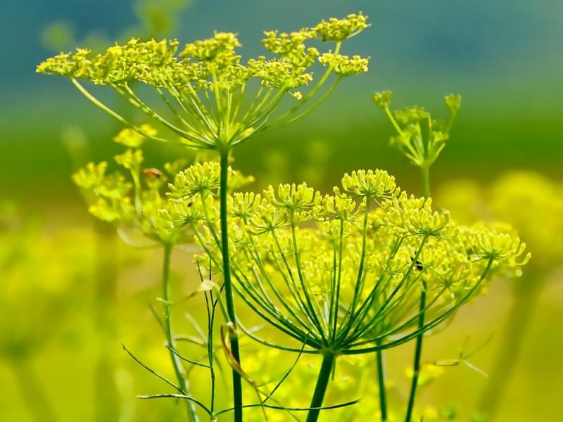 komorač biljka