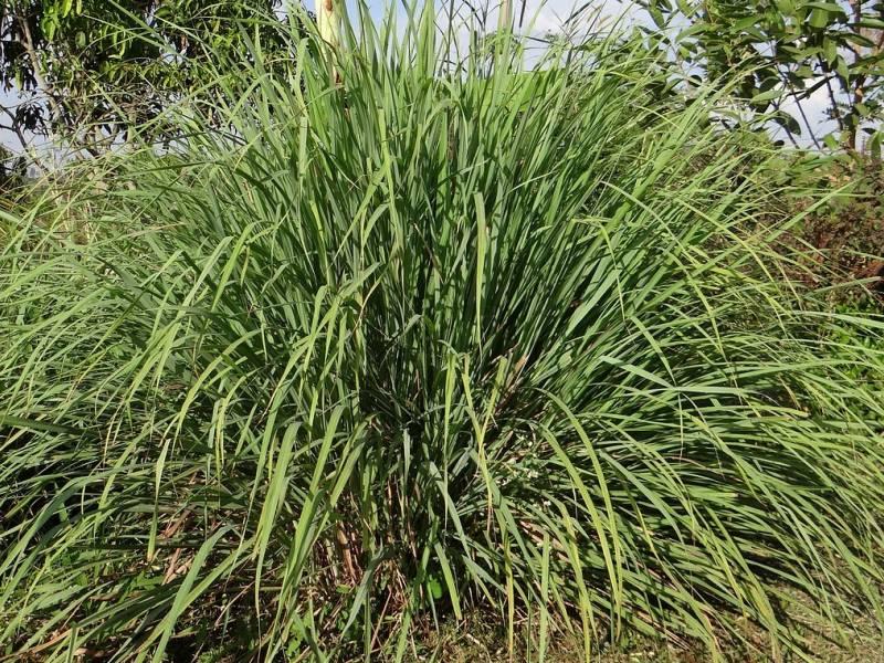 limunska trava biljka