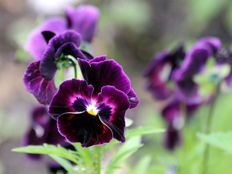 ljubičica biljka