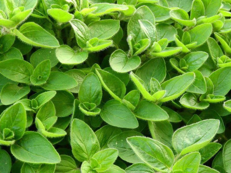 mažuran biljka