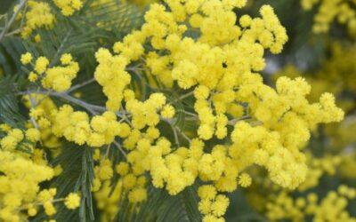 mimoza biljka