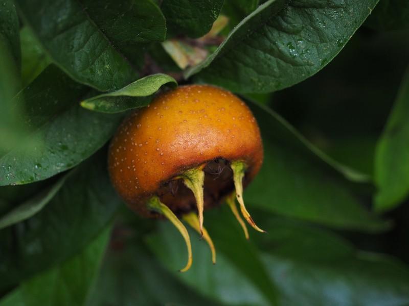 mušmula biljka