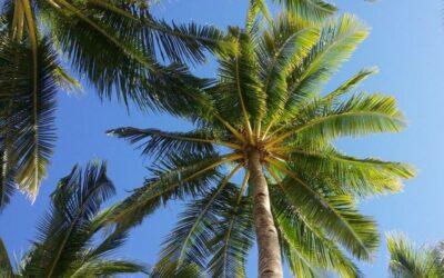 palma biljka